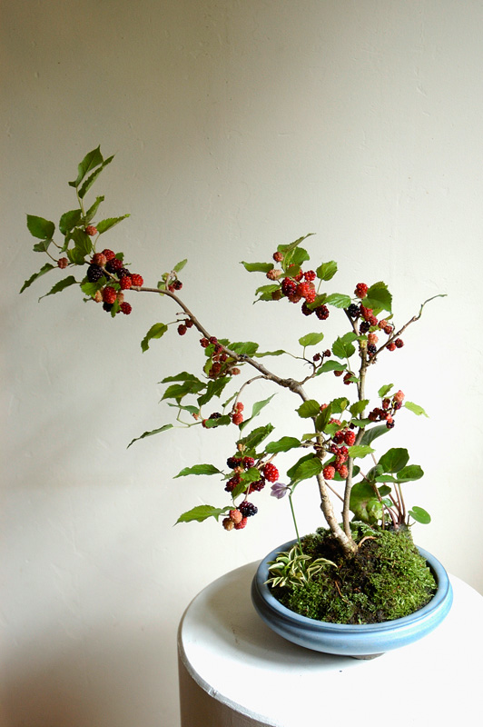 mullberry_bonsai
